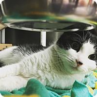 Domestic Shorthair Cat for adoption in Kansas City, Missouri - Her Majesty