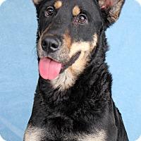 Adopt A Pet :: Muse - Encinitas, CA