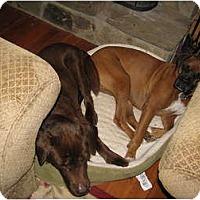 Adopt A Pet :: Apollo - Seymour, CT