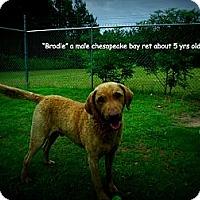 Adopt A Pet :: Brodie - Gadsden, AL