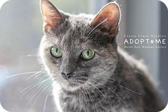 Domestic Shorthair Cat for adoption in Edwardsville, Illinois - Chloe