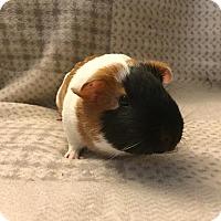 Adopt A Pet :: Max - Fullerton, CA