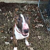 Bull Terrier Dog for adoption in Dallas, Texas - Loki