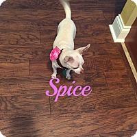 Adopt A Pet :: Spice - Maitland, FL