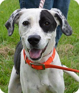 Dalmatian/Pointer Mix Dog for adoption in Trenton, Missouri - Sister