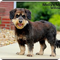Terrier (Unknown Type, Medium)/Schnauzer (Standard) Mix Dog for adoption in Dixon, Kentucky - Willow