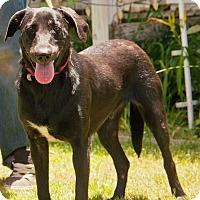 Labrador Retriever Mix Dog for adoption in Vancouver, British Columbia - A - IKE
