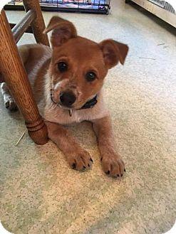 Australian Cattle Dog Puppy for adoption in Creston, Ohio - Tito - Deposit to Hold