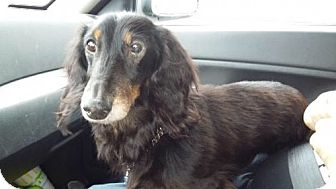 Dachshund Dog for adoption in Westville, Indiana - Mister