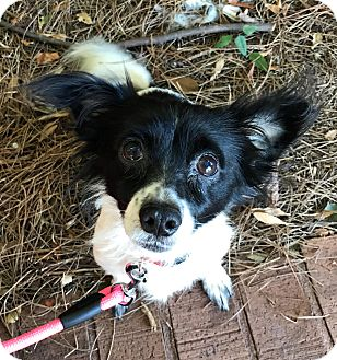 Spaniel (Unknown Type)/Papillon Mix Dog for adoption in Atlanta, Georgia - Camilla
