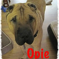Adopt A Pet :: Opie - Fort Wayne, IN