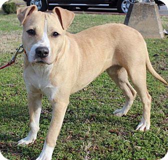 Labrador Retriever/Pit Bull Terrier Mix Dog for adoption in Brownsboro, Alabama - Noelle