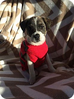 Terrier (Unknown Type, Medium)/Australian Shepherd Mix Puppy for adoption in Matawan, New Jersey - Gritty (adoption pending)