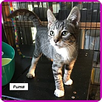 Adopt A Pet :: Puma - Miami, FL