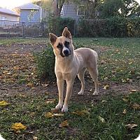 Adopt A Pet :: Bella - Manhattan, KS