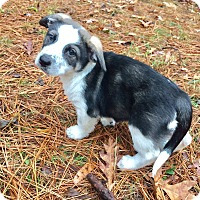 Adopt A Pet :: Beatrix - Harrisburg, PA