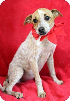 Terrier (Unknown Type, Small)/Australian Cattle Dog Mix Puppy for adoption in Dalton, Georgia - Faith