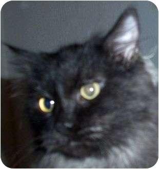 Domestic Longhair Cat for adoption in Andover, Kansas - Albert