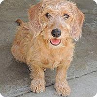 Adopt A Pet :: Brandy - La Habra Heights, CA