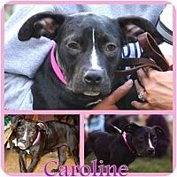 Adopt A Pet :: Caroline - Sylvania, OH