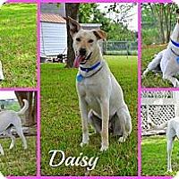 Adopt A Pet :: DARLING DAISY - Pflugerville, TX