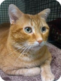 Domestic Shorthair Cat for adoption in Ringwood, Illinois - Yoda