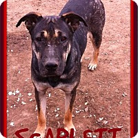 German Shepherd Dog/Black Mouth Cur Mix Puppy for adoption in Sebec, Maine - SCARLETT