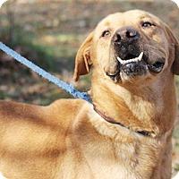 Labrador Retriever Mix Dog for adoption in Tahlequah, Oklahoma - Doug