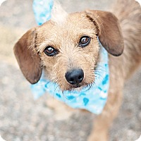 Adopt A Pet :: Archie - Kingwood, TX