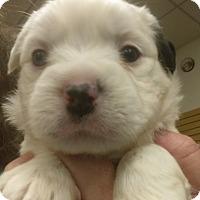 Adopt A Pet :: Bronski - Ogden, UT