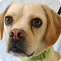 Adopt A Pet :: Stan - Chesterfield, MO