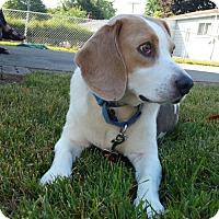 Adopt A Pet :: Snoopy - Livonia, MI