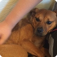 Pug/Beagle Mix Puppy for adoption in Oak Ridge, New Jersey - Willow