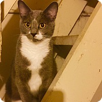Domestic Shorthair Cat for adoption in Centerton, Arkansas - Prince Charming