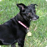 Chihuahua/Dachshund Mix Dog for adoption in Dallas, Texas - Cinderella
