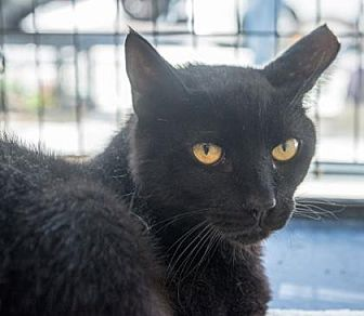 Domestic Shorthair Cat for adoption in New York, New York - Bazinga