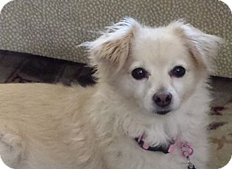 Terrier (Unknown Type, Small) Mix Dog for adoption in San Juan Capistrano, California - Lizzie