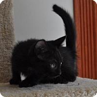 Domestic Mediumhair Kitten for adoption in O'Fallon, Missouri - Digit (polydactyl)