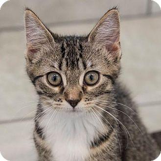 Domestic Shorthair Kitten for adoption in St. Paul, Minnesota - Zara