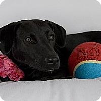 Adopt A Pet :: Nica - San Diego, CA