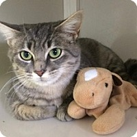 Domestic Shorthair Kitten for adoption in White Cloud, Michigan - Ivy