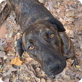 Plott Hound Mix Dog for adoption in Alpharetta, Georgia - Mary Kate