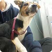 Adopt A Pet :: Joy - Allen, TX