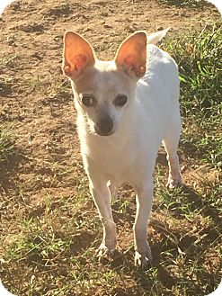 Chihuahua Mix Dog for adoption in Essington, Pennsylvania - Chloe Marie