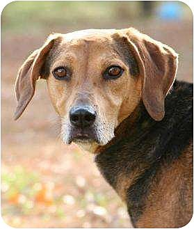 Beagle Mix Dog for adoption in Matthews, North Carolina - Dan