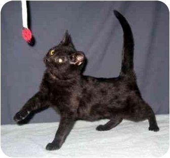 Domestic Shorthair Kitten for adoption in Powell, Ohio - Tasmine