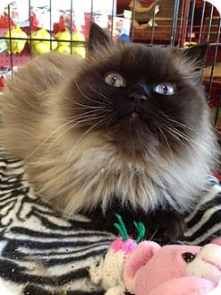 Himalayan Cat for adoption in Beverly Hills, California - Bliss