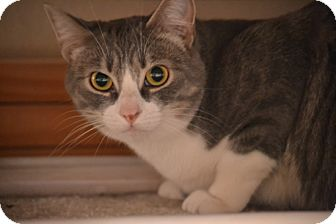 Domestic Shorthair Cat for adoption in Laguna Woods, California - Sweetie Pie