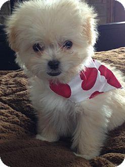 MALTIPOO PUPPIES | Adopted Puppy | Salt Lake City, UT ...