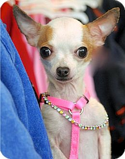 Chihuahua Dog for adoption in Mooy, Alabama - Nina
